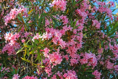 Oleander bush poisonous to dogs