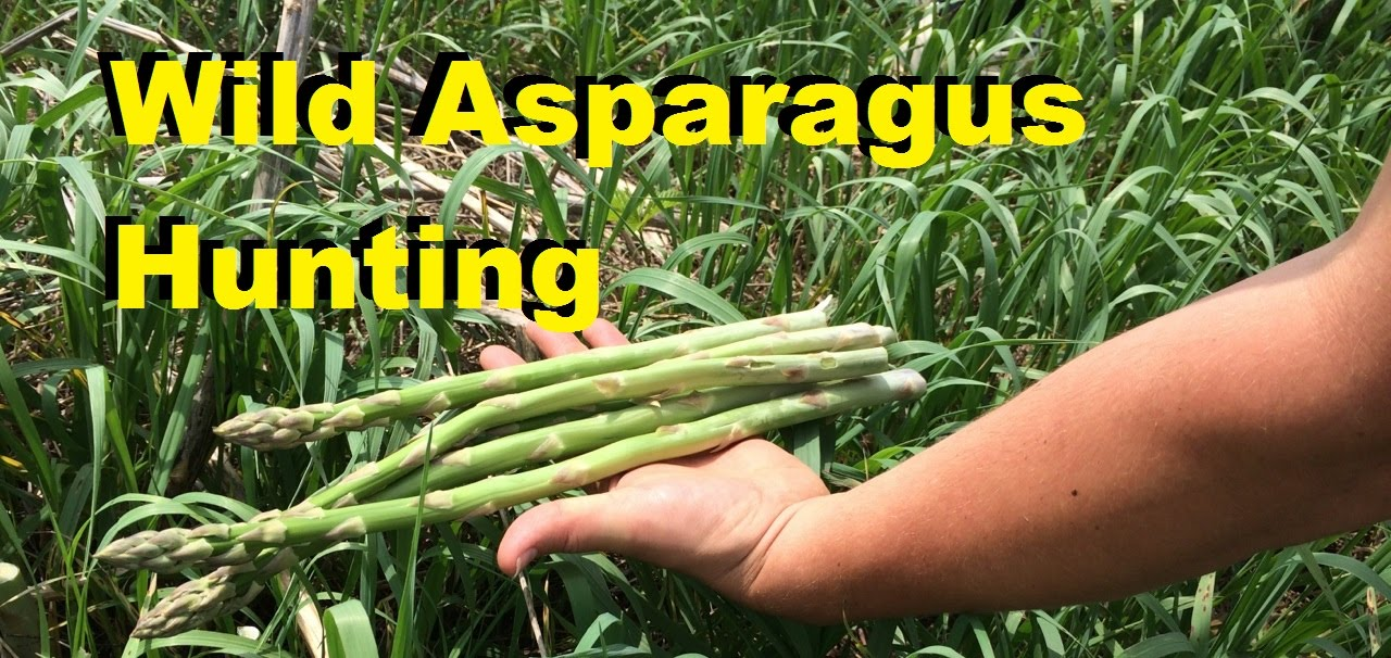 Hunting the wild asparagus. Hunting the wild asparagus.